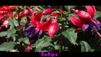 Photo of Is Fuchsia a Shade of Pink?